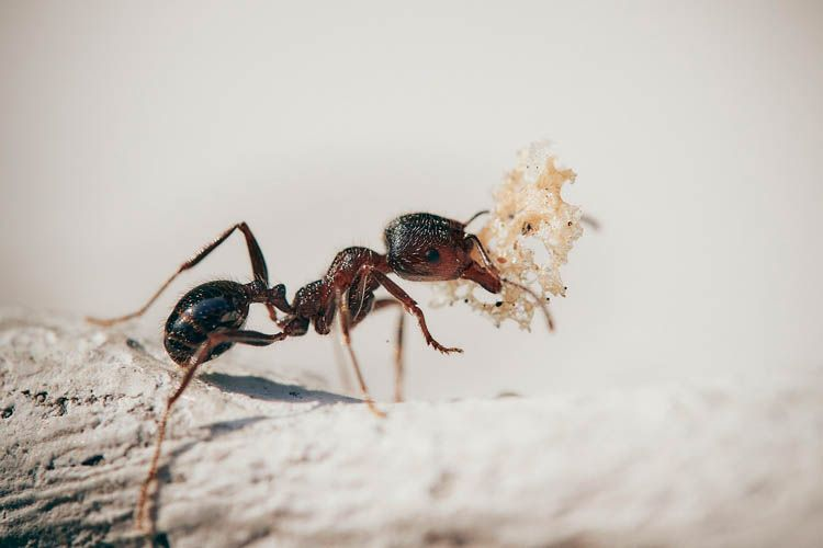 fumigar hormigas