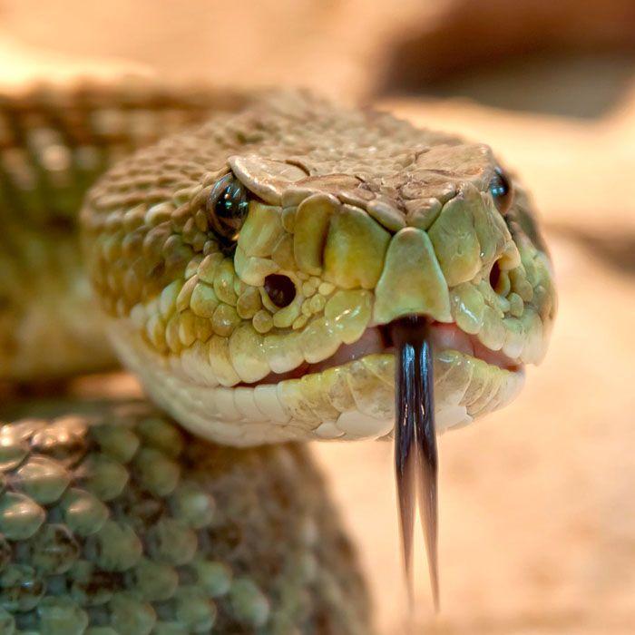captura serpientes