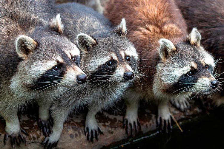 captura mapaches huelva